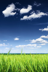 Wheat field against blue sky with white clouds. Agriculture scen