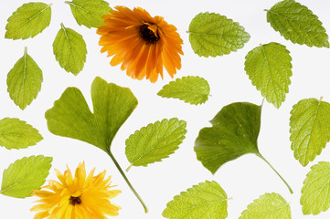 Heilpflanzen, Ringelblumen, Ginko und Melissenblätter
