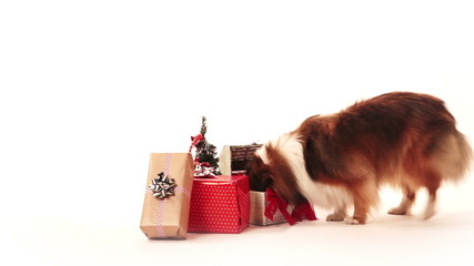 Dog looking for a presents on christmas morning.