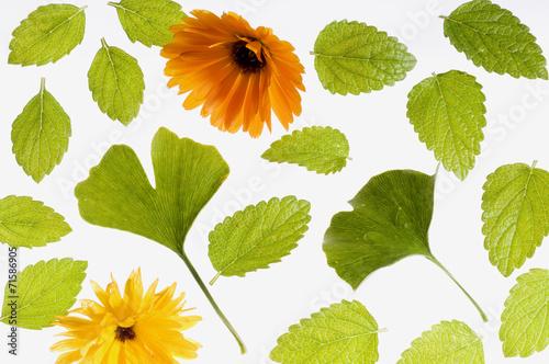 canvas print picture Heilpflanzen, Ringelblumen, Ginko und Melissenblätter