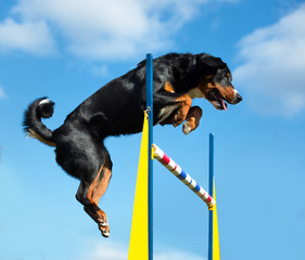 Tricolor dog jimp agility on the sky background
