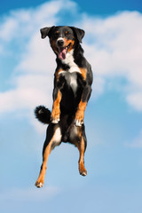 Tricolor dog jimps high in the sky