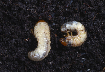 Grubs in the soil