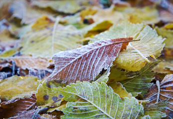 autumn leaves with dusting of frost.