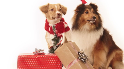 Two dogs looking for presents on christmas morning.