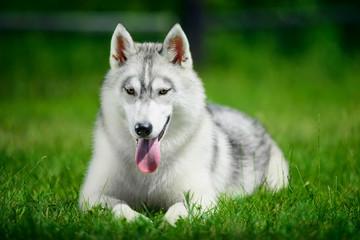 Siberian husky lying on green grass