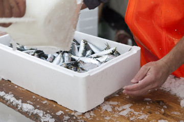 Fishermen covering with ice fresh sardines