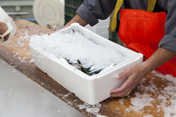 Fishermen covering with ice fresh sardines