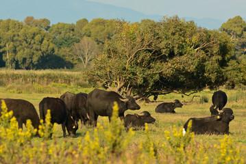 bufalo d'acqua mandria al pascolo