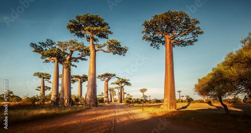Foto Spatwand Baobab Baobabs