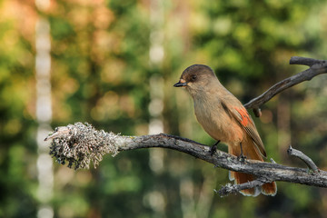 Siberian Jay sitting on an old tree branch
