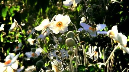 White flowers at autumn sunset.
