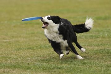 De hond heeft de frisbee bijna te pakken.
