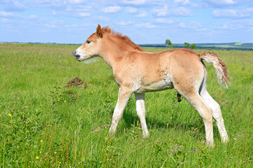 Foal on a summer pasture