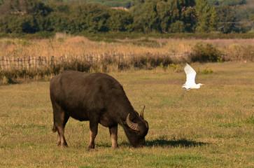 bufalo d'acqua ritratto con guardabuoi