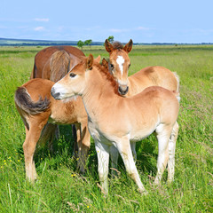 Foals on a summer pasture