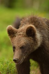 Young bear portrait