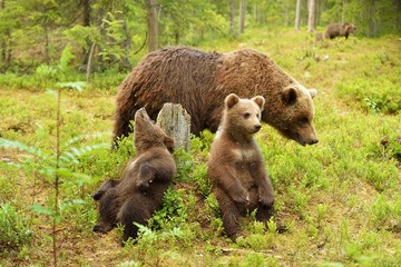 Bear cubs with their mother