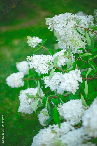Foto op Canvas Hydrangea White hydrangea bush paniculate