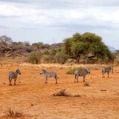 Couple of wild African zebra