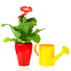 Gerber plant and watering can