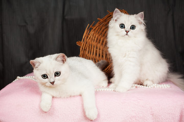two British kittens of white color with a basket and beads