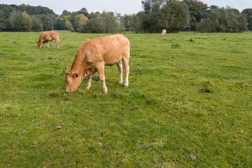 Three grazing cows