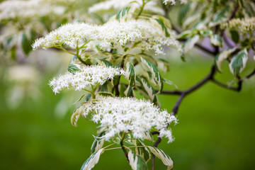 Close up of the dogwood blooming branches with white flowers