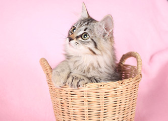 grey kitten on a pink background in a basket