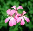 canvas print picture - 3 Blumen zusammen