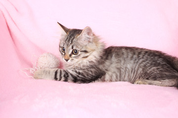 grey kitten on a pink background plays with threads