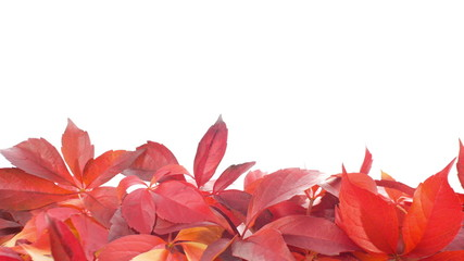 Red autumn leaves on white background, shot in RAW 4K