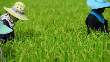 Rice Harvest in Thailand