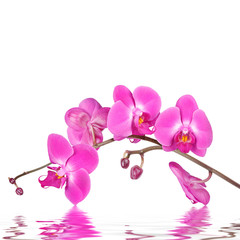 Orchid flowers isolated with reflections in wavy water surface