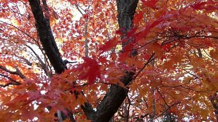 紅葉/日本で初めに色づく北海道の秋_16