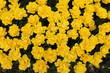 canvas print picture - Fleur jaune