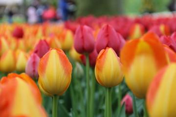 fototapeta pomarańczowo czerwone tulipany