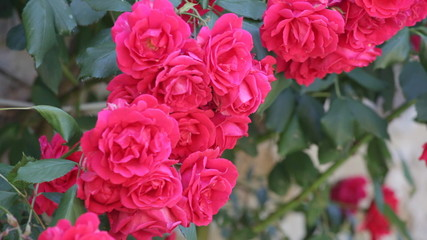 Beautiful pink roses for vertical gardening