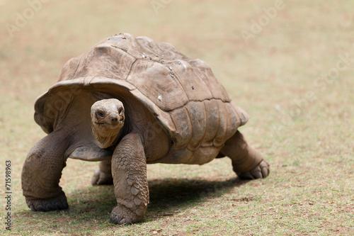 Papiers peints Tortue tortue géante de Rodrigues