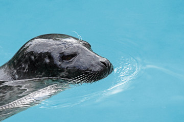 Harbor seal portrait