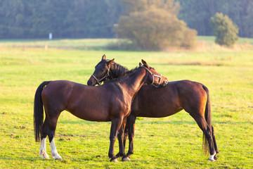 Pferde Paar