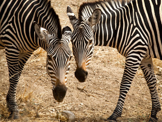 Two zebras head to head and side bt side