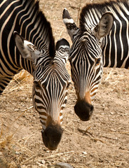 Two zebras head to head, close up