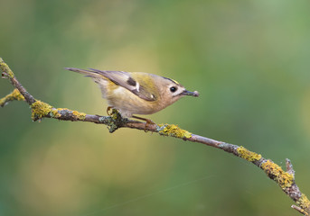 Goldcrest With Prey
