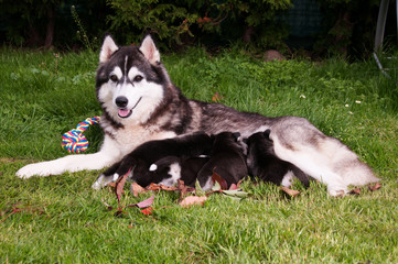 Husky Welpen mit Mutter