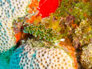 Lettuce sea slug (Elysia crispata) on colored coral