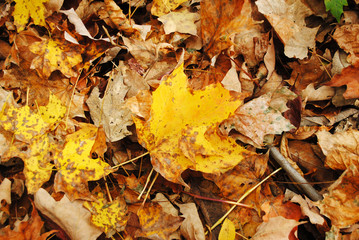 Close Up of Crispy Fall Leaves in the Country