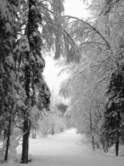 forêt scandinave