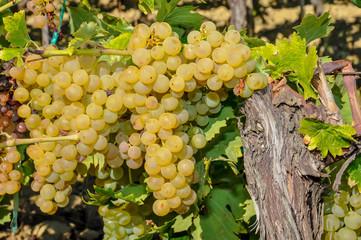 vendanges raisin blanc