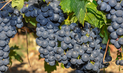 vendanges raisin noir